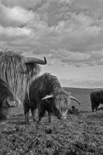 Highland Cows at Octomore
