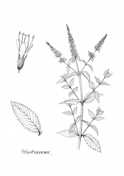 Spear Mint - Mentha spicata