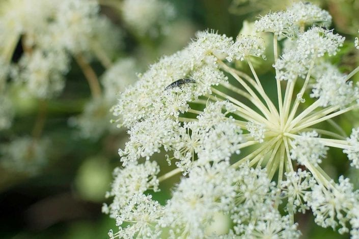 wild angelica growing on Islay