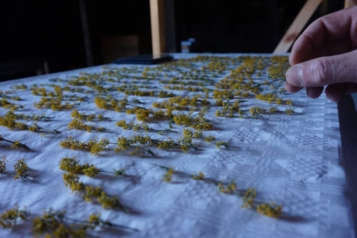 Lady's bedstraw drying