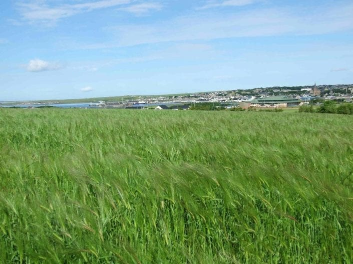 Bere growing near Kirkwall, Orkney