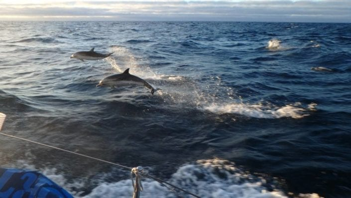 Dolphins in the Azores